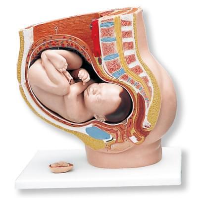 L20 - Model pánve v těhotenství, 3 části