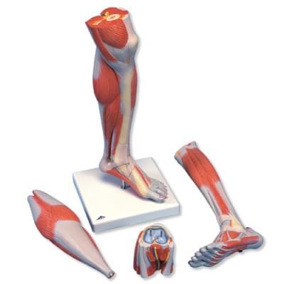 M22 - Model bérce a kolena se svaly, 3 části