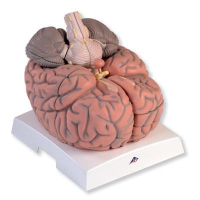 VH409 - Velký model mozku, 2,5 krát zvětšený, 14 částí