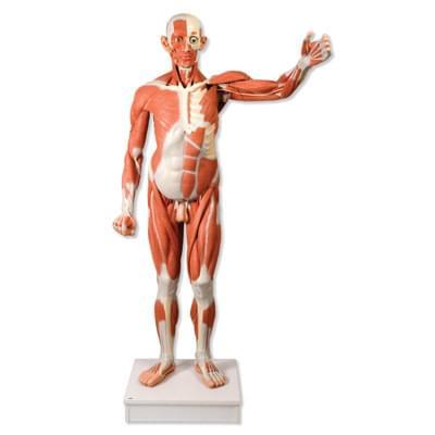 VA01 - Mužská postava se svaly v životní velikosti, 37 částí