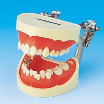 Model k demonstraci správného čištění zubů PE-STP001