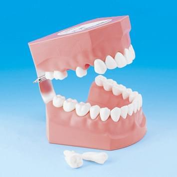 Model k demonstraci správného čištění zubů PE-STP002
