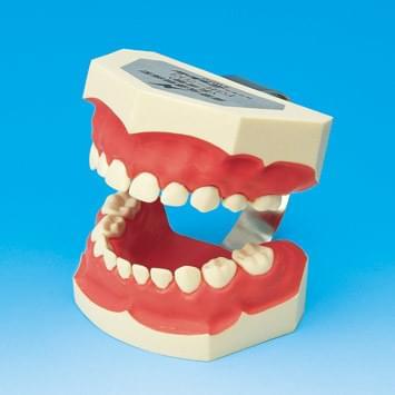 Model k demonstraci správného čištění zubů PE-STP003