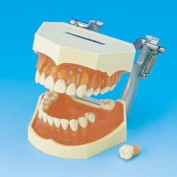 Model s odnímatelnými zuby (dáseň z transparentního růžového silikonu)