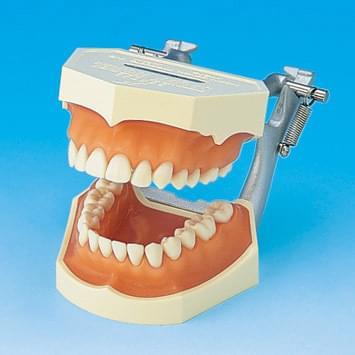 Model s odnímatelnými zuby (dáseň z růžového silikonu)