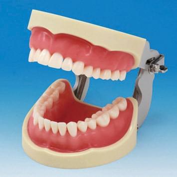 Model čelisti s protetickou náhradou (32 zubů) - růžová dáseň