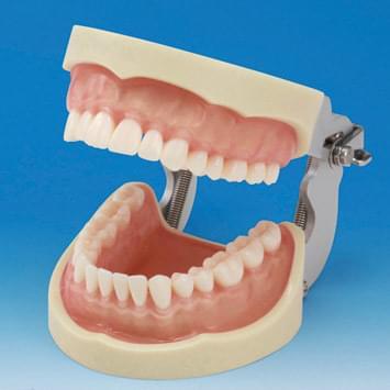 Model čelisti s protetickou náhradou (32 zubů) - transparentní růžová dáseň