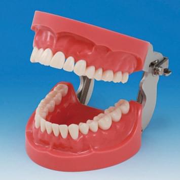 Model čelistí s tvrdou dásní (32 zubů)