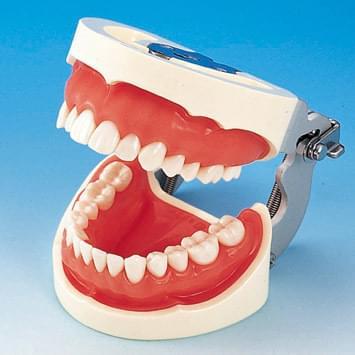 Model čelisti s protetickou náhradou (28 zubů) - růžová dáseň