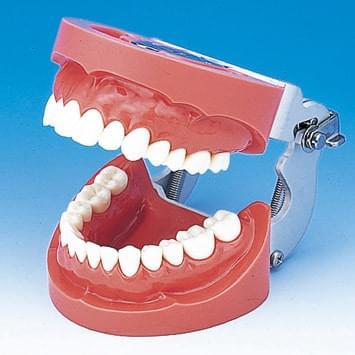 Model čelisti s tvrdou dásní (28 zubů)