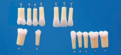 Dvouvrstvé modely zubů A20A-200 (sada 14 zubů)