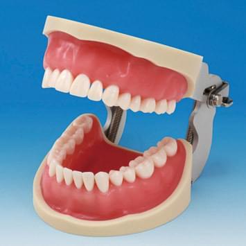Praktický model čelistí CON2001-UL-SP (32 zubů)
