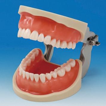 Praktický model čelistí CON2001-UL-UP (32 zubů)