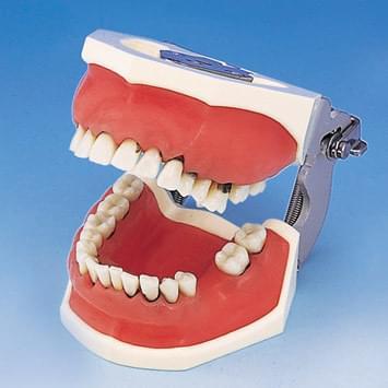 Model čelistí pro parodontální chirurgii