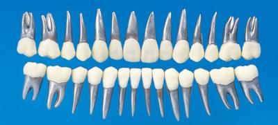 Anatomický model zubu B9-500 (sada 28 zubů)