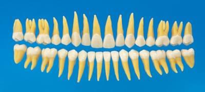 Anatomický model zubu B3-305 (sada 32 zubů)
