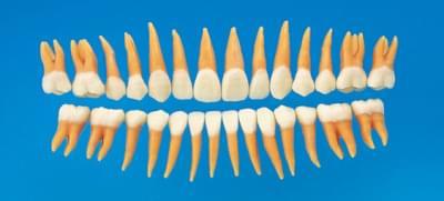 Anatomický model zubu B2-306 (sada 28 zubů)