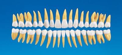 2,5× zvětšený anatomický model zubu B10-330 (sada 32 zubů)