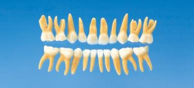 Anatomický model dětského zubu B4-309B (sada 20 zubů)