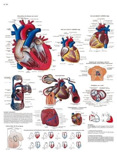 VR1334UU - Lidské srdce