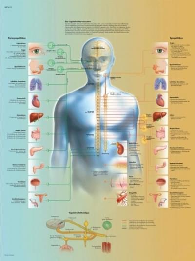 VR1610L - Vegetativní nervový systém