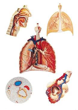 V2036U - Dýchací systém