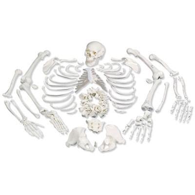 A05/1 - Model celé lidské kostry bez kloubů s lebkou rozdělenou na 3 části