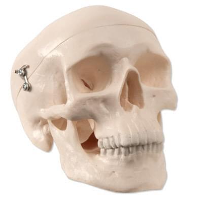 A18/15 - Zmenšený model lidské lebky, 3 části - horní část, základová část, dolní čelist