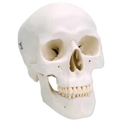 A20 - Klasický model lidské lebky, 3 části