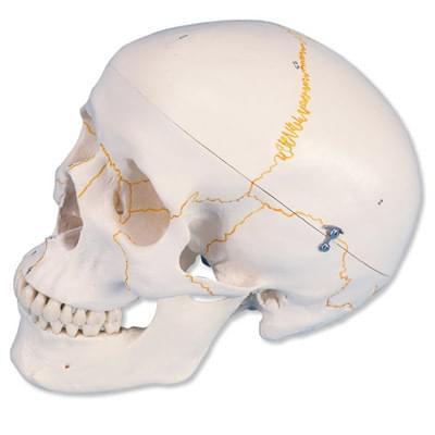 A21 - Očíslovaný klasický model lidské lebky, 3 části