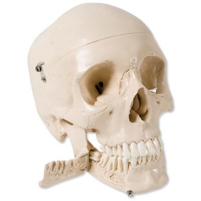 W10532 - Model lebky se zuby pro vytahování zubů, 4 části