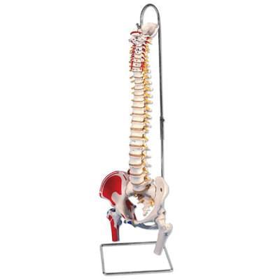 A58/3 - Klasický ohebný model páteře s čepy stehenních kostí a namalovanými svaly