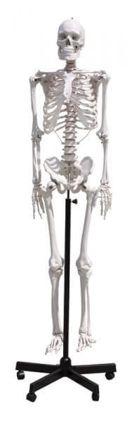 GD0101 – Lidská kostra, 170 cm