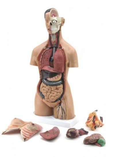 GD0202 – Lidský trup mužský – ženský