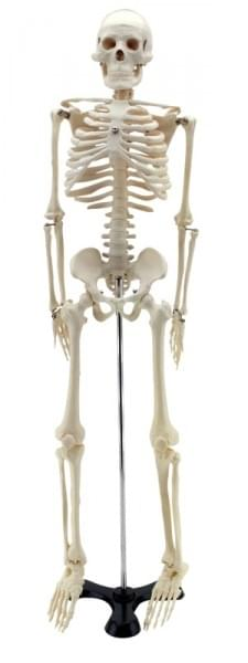 GD0111 – Zmenšená lidská kostra, 85 cm