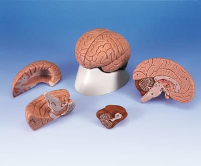 C16 - Model mozku