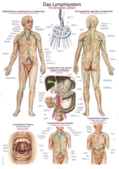 AL109 - Lymfatický systém