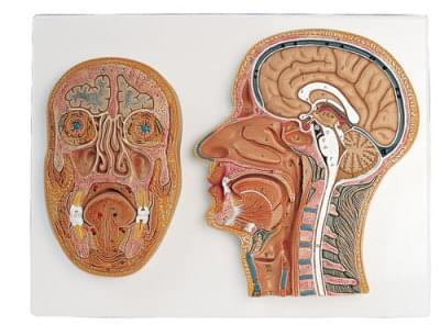 C13 - Řez střední a přední částí hlavy