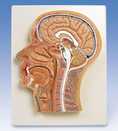 Řez střední částí hlavy