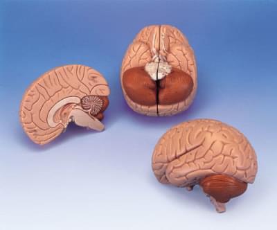 C15 - Model mozku
