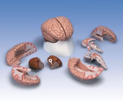 C17 - Model mozku