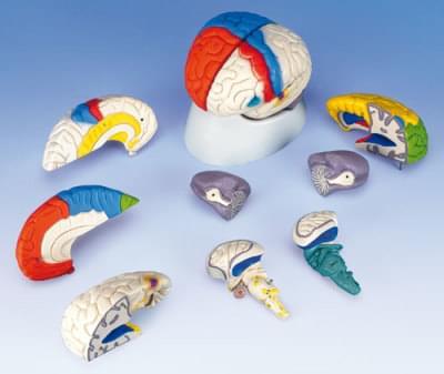 C22 - Neuro-anatomický model mozku