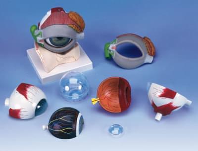 F12 - Model oka s očním víčkem a slzným systémem