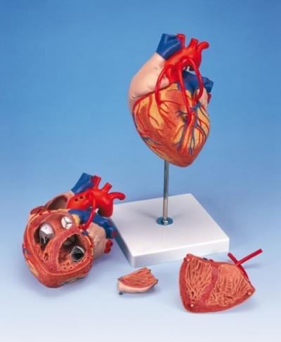 G06 - Model srdce s bypassem
