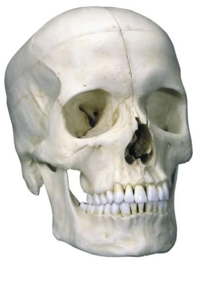 A281 - Členěná základní lebka