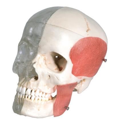A282 - Členěná kombinovaná lebka