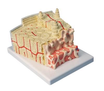 A79 - Struktura kosti