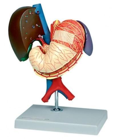 6090.20 - Žaludek a přidružené orgány horního břicha