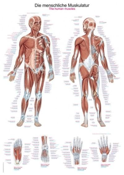 AL100- Lidské svalstvo