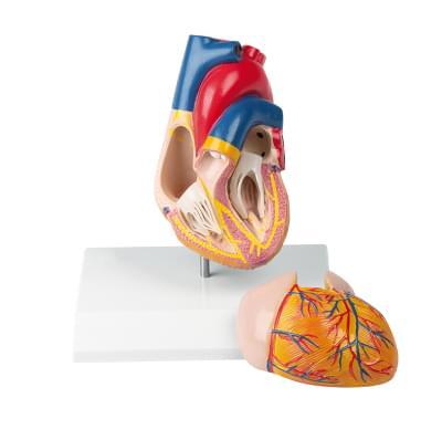 G207 - Model srdce s řídícím ústrojím, 2 části